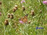 P7260554 Schmetterling auf Distel