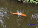 P5120337 Goldfisch in der Mühlen-Ilse