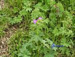 P5221776  Frühlingsblumen