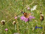 P7260555 Schmetterling auf Distel