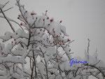 P1030679 Winterimpressionen - Hagebutten im Schnee 2