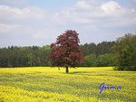 P5040001 Rotbuche im Rapsfeld .jpg
