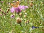 P7260558  Distel mit Schmetterling am Straßenrand