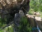 P5203494 Wildkatze (Kuder) im Wildkatzengehege Marienteichbaude an der B 4 oberhalb Bad Harzburg