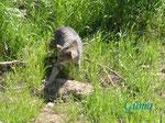 P5203489 Wildkatze (Kuder) im Wildkatzengehege Marienteichbaude an der B 4 oberhalb Bad Harzburg