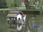 P9030845    Enten im Dorf-Teich auf Fehmarn