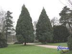 P4190271 Nootka-Scheinzypressen am Eingang zum Tannengarten südlich des Herzoglichen Museums in Gotha