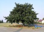 P8300783  Wunderschöne Dorfeiche am Ortsrand von Emersleben Richtung Groß Quenstedt
