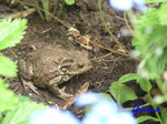 P5133015 Kröti - unser neues Haustier auf dem Blumenbeet