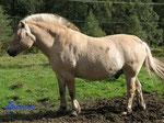 P8230775 Norwegisches Fjordpferd  auf der Koppel  in der Nähe  unserer Hütte in Bjaerum/Norwegen/Vestagder
