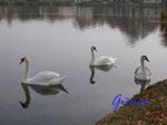 Pb080656 Schwanenfamilie auf dem Stadtsee in Stendal