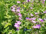 P5240359 Waldstorchschnabel Geranium sylvaticum.jpg
