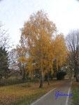 Pb080652 herbstliche Birke im Park am Stadtsee in Stendal