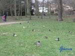 P4190284 Enten  im Park in Gotha - jedes Pärchen hat seinen eigenen Platz
