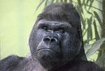 Gorilla IVO - Berliner Zoo (Foto: Heike M. Meyer)