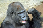 """Gorilla ASSUMBO - """"Darwineum"""" Zoo Rostock (Foto: Heike M. Meyer)"""