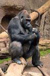 "Gorilla ABEEKU - ""Pongoland"" Leipziger Zoo (Foto: Heike M. Meyer)"