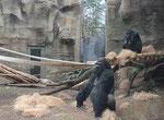 "Gorilla GORGO & BEBE - ""Darwineum"" Rostock (Foto: Heike M. Meyer)"