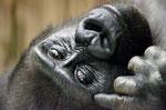 Gorilla LOUNA - Tiergarten Nürnberg (Foto: Heike M. Meyer)