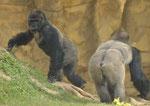 Gorillas Zoo Schmiding/Österreich (Foto: Heike M. Meyer)