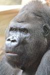 "Gorilla GORGO - ""Darwineum"" Rostock (Foto: Heike M. Meyer)"