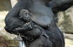 """Gorillababy - Tiergarten München """"Hellabrunn"""""""