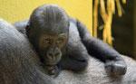 Gorillakleinkind - Züricher Zoo