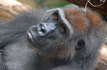 "Gorilla BEBE - ""Darwineum"" Rostock (Foto: Heike M. Meyer)"