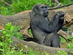 Gorilla LENA - Tiergarten Nürnberg (Foto: Heike M. Meyer)