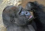 "Gorilla ASSUMBO - ""Darwineum"" Zoo Rostock (Foto: Heike M. Meyer)Gorilla ASSUMBO - ""Darwineum"" Zoo Rostock (Foto: Heike M. Meyer)"