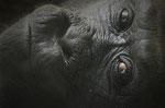 Gorilla FATOU - Berliner Zoo (Foto: Heike M. Meyer)