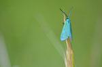 Zygène turquoise