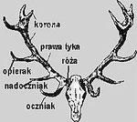 Budowa wieńca jelenia