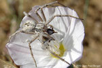 Araignée crabe (famille des Thomisidae) ayant capturé une jeune guêpe sur une fleur de Convolvulus à Sharjah