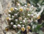 Helichrysum makranicum - Wadi Abadilah (maintenant autoroute)