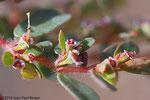 Euphorbia granulata- Région de Shawka