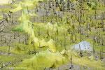 Algues filamenteuses étouffant les pneumatophores des Avicennias de la mangrove - Ajman