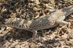 Fringe-toed lizard (Acanthodactylus boskianus) à Ajman