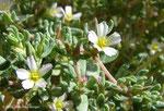 Frankenia pulverulenta - Dunes littorales - Umm Al Quwain