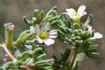 Frankenia pulverulenta - Terrain vaque Etisalat - Ajman