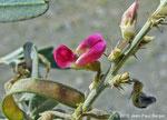 Tephrosia appolinea - Réservoir près de Munay (route de Kalba)