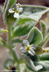 Moretia parviflora - Réservoir près de Munay (route de Kalba)
