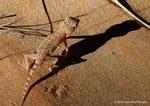 Gecko à doigts courts des sables (Stenodactylus arabicus) la nuit dans les dunes à Al Ain