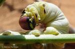 Chenille de Hyles livornica (Sphinx) -