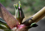 Sesuvium verrucosum - Ruwayyah (Dubai)