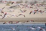 Flamants - Al Wathba Wetland - Abu Dhabi