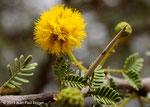 Acacia nilotica - Khor al Najd