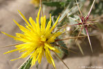 Centaurea pseudosinaica - Région côtière - Ajman