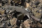 Omaosaura jayakari (Jayakar's Lizard) - Al_Mihtaraqah
