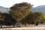 """Ziziphus - Cirque de la vallée de Khasab (""""Forêt"""")"""
